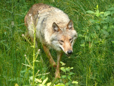 wilk w trawie