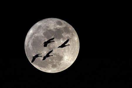Słowianie wierzyli w to, że część ludzkiej duszy wraca na ziemię za pośrednictwem ptaków. Symptomatyczne dla niektórych wierzeń indoeuropejskich jest wiązanie kultu chtonicznego z lunarnym - stąd być może istnieje gdzieniegdzie przeświadczenie o tym, że ludzkie dusze po śmierci przebywają na księżycu. Autor: photophilde (CC).