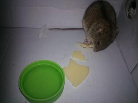 Mysz polna odratowana przez naszego redaktora, która po krótkim pobycie w domowym sanatorium wróciła na wolność.