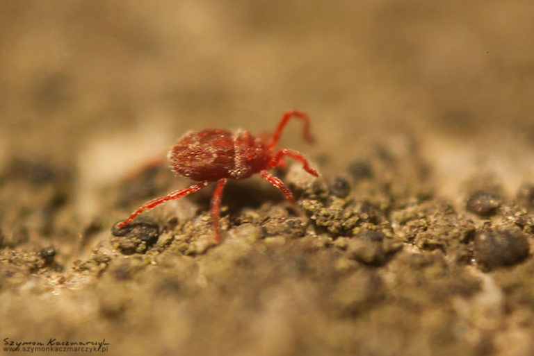 Czerwiec – miesiąc czerwonego robaczka